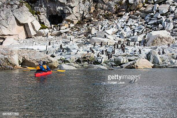 Gentoo penguins and sea kayak