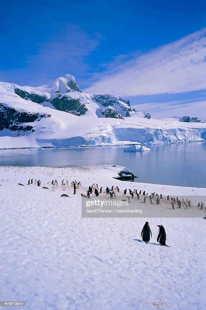 Gentoo penguins, Antarctic Peninsula, Antarctica : Foto de stock