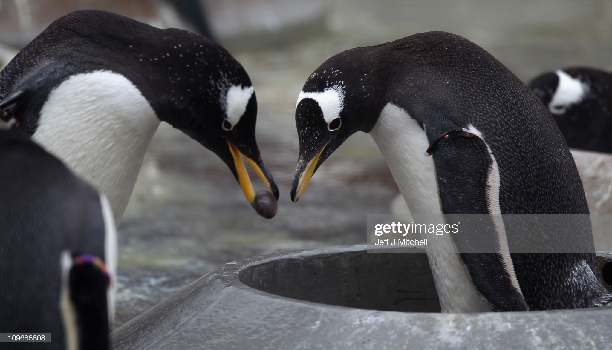 Edinburgh Zoo Keepers Install Nesting Rings For The Gentoo Penguins : News Photo