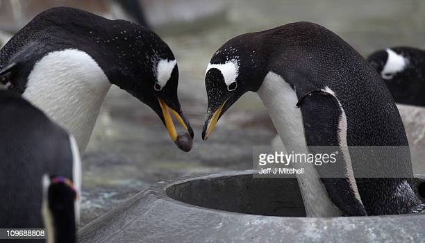 Gentoo penguins begin the breeding season at Edinburgh Zoo on March 1 2011 in Edinburgh Scotland The zoo keepers have just installed the nest rings...