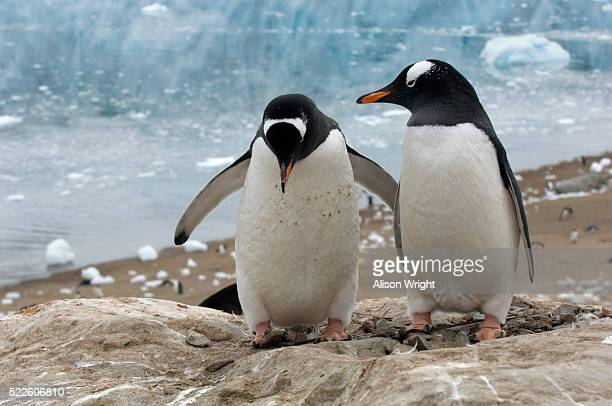 gentoo penguins building rookery nest - rookery building stock pictures, royalty-free photos & images