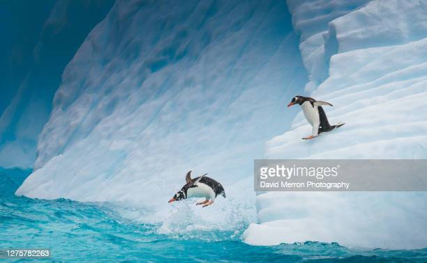 gentoo penguins dive into the cold waters surrounding antarctica - south shetland islands stock pictures, royalty-free photos & images