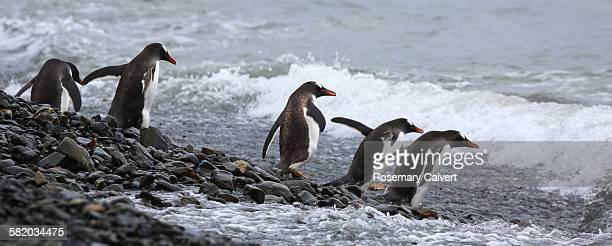 Gentoo penguins entering the sea, South Georgia.