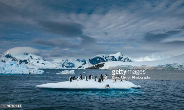 gentoo penguins hang out on small iceberg - antarctic sound stockfoto's en -beelden