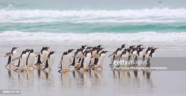gentoo penguins head to the sea to hunt. volunteer point, falkland islands. - volunteer point stock pictures, royalty-free photos & images