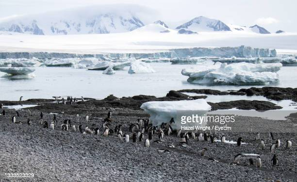 gentoo penguins in antarctica - antarctic sound stock pictures, royalty-free photos & images