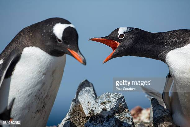 gentoo penguins in rookery, antarctica - rookery stock pictures, royalty-free photos & images