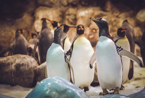 Gentoo penguins in the zoo 1132102064