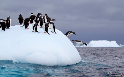 Gentoo Penguins Jumping off an Iceberg in Antarctic Waters 466554159