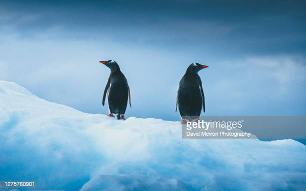gentoo penguins look in opposite directions as they stand on vibrant blue ice - antarctic sound foto e immagini stock