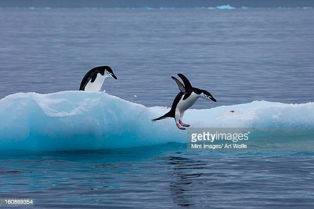 gentoo penguins on an iceberg, antarctica - chinstrap penguin stock pictures, royalty-free photos & images