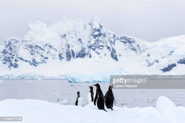 gentoo penguins on an iceberg - antarctica penguin stock pictures, royalty-free photos & images