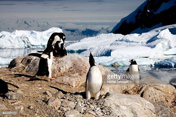Gentoo Penguins on Neko Harbour Andword BayGraham Land during a voyage to the Antarctica on a ship called Le Diamant during February 2006