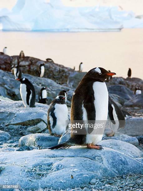 Gentoo penguins on the Antarctic Peninsula