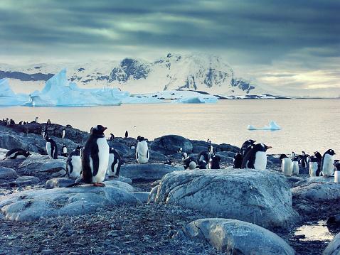 Gentoo penguins on the Antarctic Peninsula 523832431