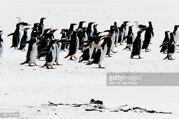 Gentoo penguins on the shore , Spheniscidae, north-west coast of Pebble Island, Falkland or Malvinas Islands .