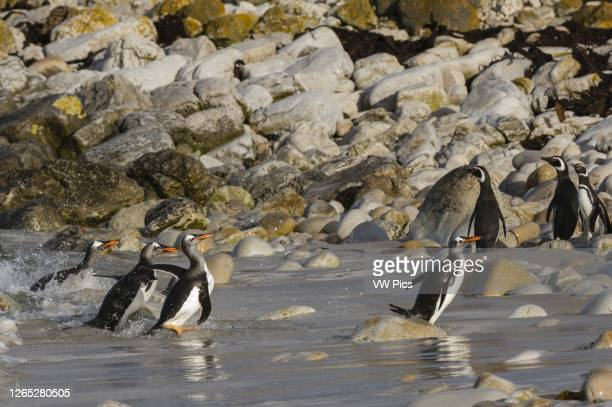 Gentoo penguins , Pebble Island, Falkland Islands.