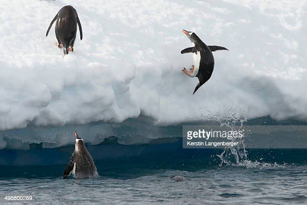 Gentoo Penguins -Pygoscelis papua- jumping out of the water onto an ice floe, Antarctic Peninsula, Antarctica