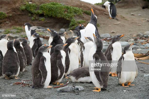 Gentoo penguins Pygoscelis papua papua crche Macquarie Island Sub Antarctic administered by Tasmania Australia