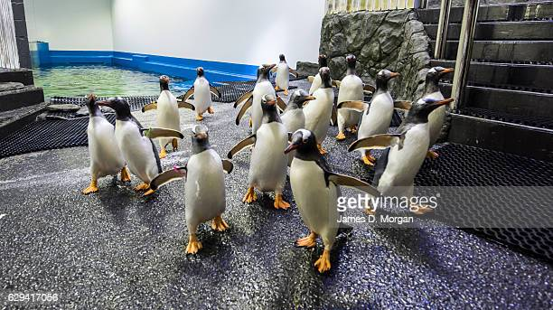 Gentoo penguins relax in the cool temperatures at SEA LIFE Sydney Aquarium on December 13 2016 in Sydney Australia With temperatures outside in...
