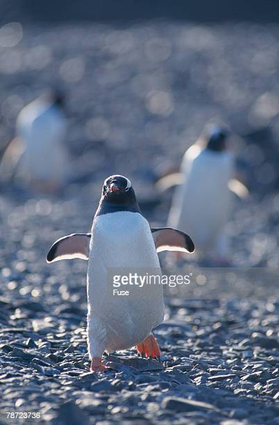 Gentoo Penguins Running on Rocks
