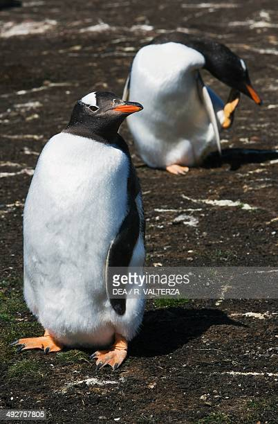 Gentoo penguins , Spheniscidae, east coast of Pebble Island, Falkland or Malvinas Islands .
