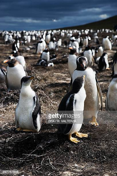 Gentoo penguins , Spheniscidae, north-west coast of Pebble Island, Falkland or Malvinas Islands .