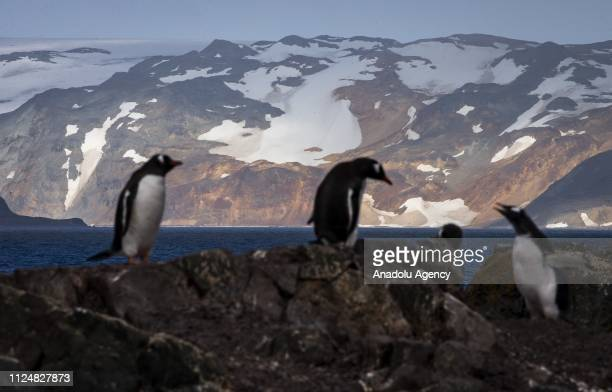 Gentoo penguins stand at Ardley Island that hosts many bird species and penguins located in the north of Antarctic Peninsula on February 05 2019 in...