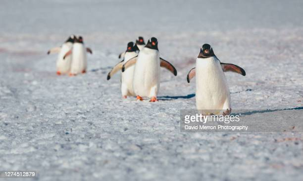 gentoo penguins waddle along the snow covered beach - 南極海峡 ストックフォトと画像