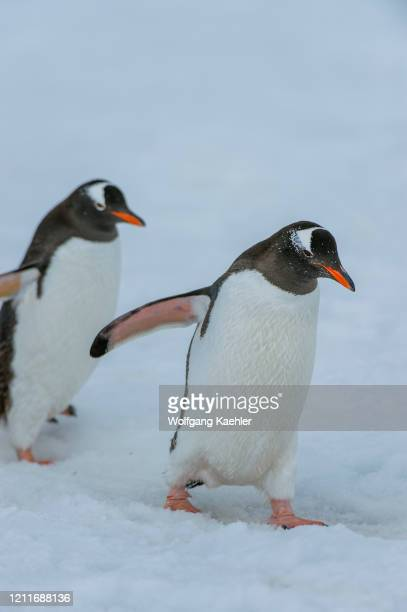 Gentoo penguins walking over snow at Yankee Harbor, Greenwich Island in the South Shetland Islands off the coast of Antarctica.
