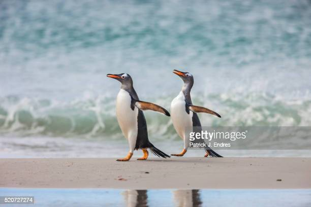 2 gentoo penguins walking - フォークランド諸島 ストックフォトと画像