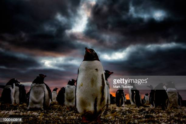 gentoo sunset - falklandinseln stock-fotos und bilder