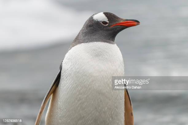 Gentoo The Penguin closeup at the water's edge, on January 03, 2020 in King George Island, Antarctica.