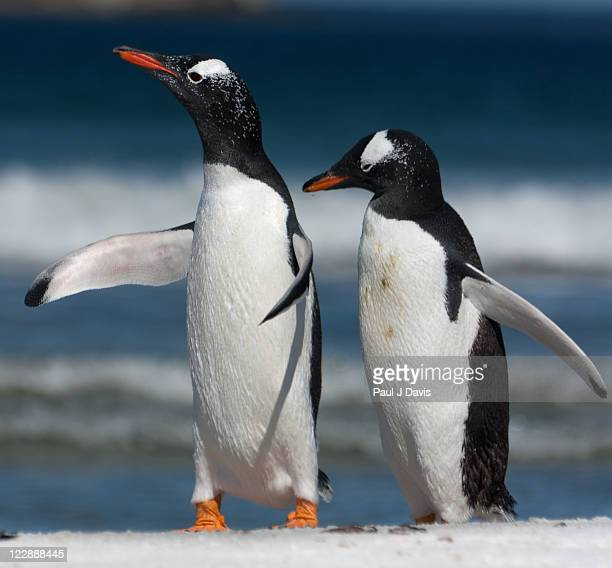 Gentoos penguins on beach