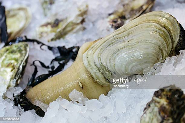 A geoduck is displayed on a bed of ice at the Taylor Shellfish Farms restaurant in the Sai Ying Pun area of Hong Kong China on Friday June 17 2016...