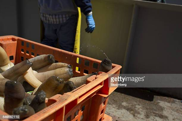 A geoduck squirts water after being rinsed at a Taylor Shellfish Co processing facility in Shelton Washington US on Tuesday May 10 2016 Geoducks are...