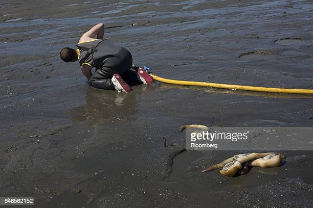 Geoducks sit as a worker searches through sand during harvest on a beach leased by Taylor Shellfish Co near Olympia Washington US on Tuesday May 10...