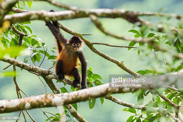 geoffroy´s spider monkey - monkeys stock pictures, royalty-free photos & images