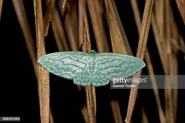Geometer moth -Geometridae-, Tandayapa region, Andean cloud forest, Ecuador, South America