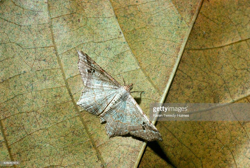 Geometric Moth : Stock Photo
