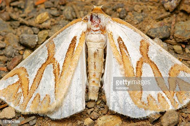 Geometrid moth in daytime resting position Liffey River Australian Bush Heritage Fund Conservation Reserve foothills of the Western Tiers Tasmania...