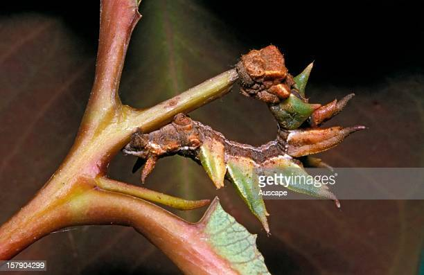 A geometrid moth larva resembling an eaten leaf Australia