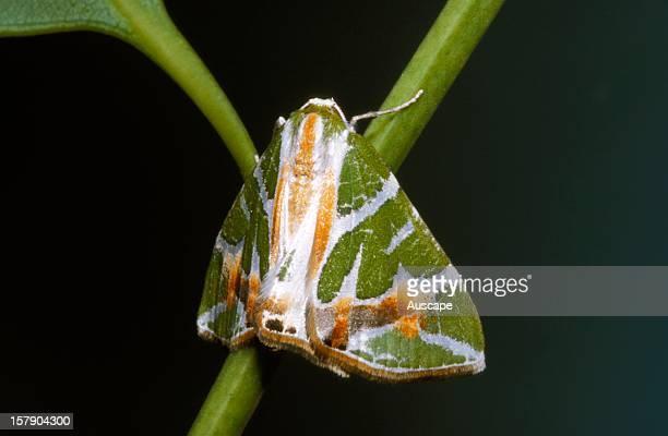 A geometrid moth resting Australia