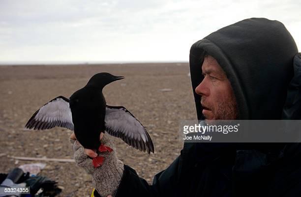 George Divoky gets a closeup view of a black guillemot August 2001 on Cooper Island Alaska Ornithologist George Divoky has journeyed to Cooper Island...