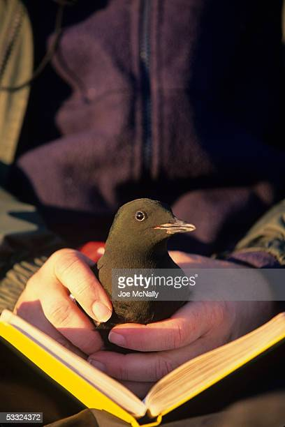 George Divoky holds a black guillemot August 2001 on Cooper Island Alaska Ornithologist George Divoky has journeyed to Cooper Island off the coast of...