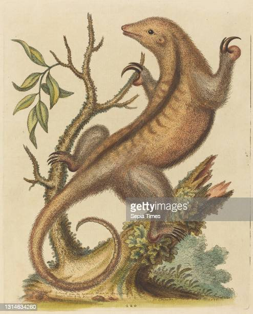George Edwards, , English, 1694 - 1773, Pygmy Anteater, A Natural History of Uncommon Birds and Animals , hand-colored etching on laid paper, plate:...