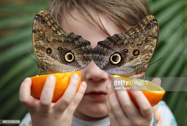 George Lewys age 5 poses with two Forest Giant Owl butterflies sat on slices of oranges at the Natural History Museum on March 30 2017 in London...