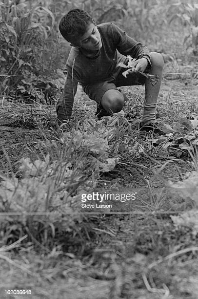 JUL 29 1969 AUG 17 1969 AUG 21 1969 George Marcus examines a tender leaf of lettuce grown in his plot at the home of the William Breretons Jr Arvada