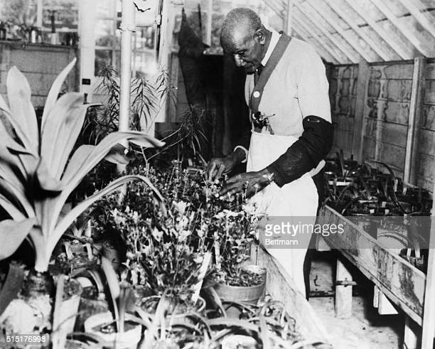 George Washington Carver American botanist at work Undated photograph