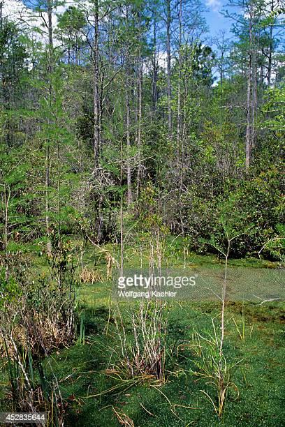 USA Georgia Okefenokee Swamp Park Bay Trees Cypress Trees